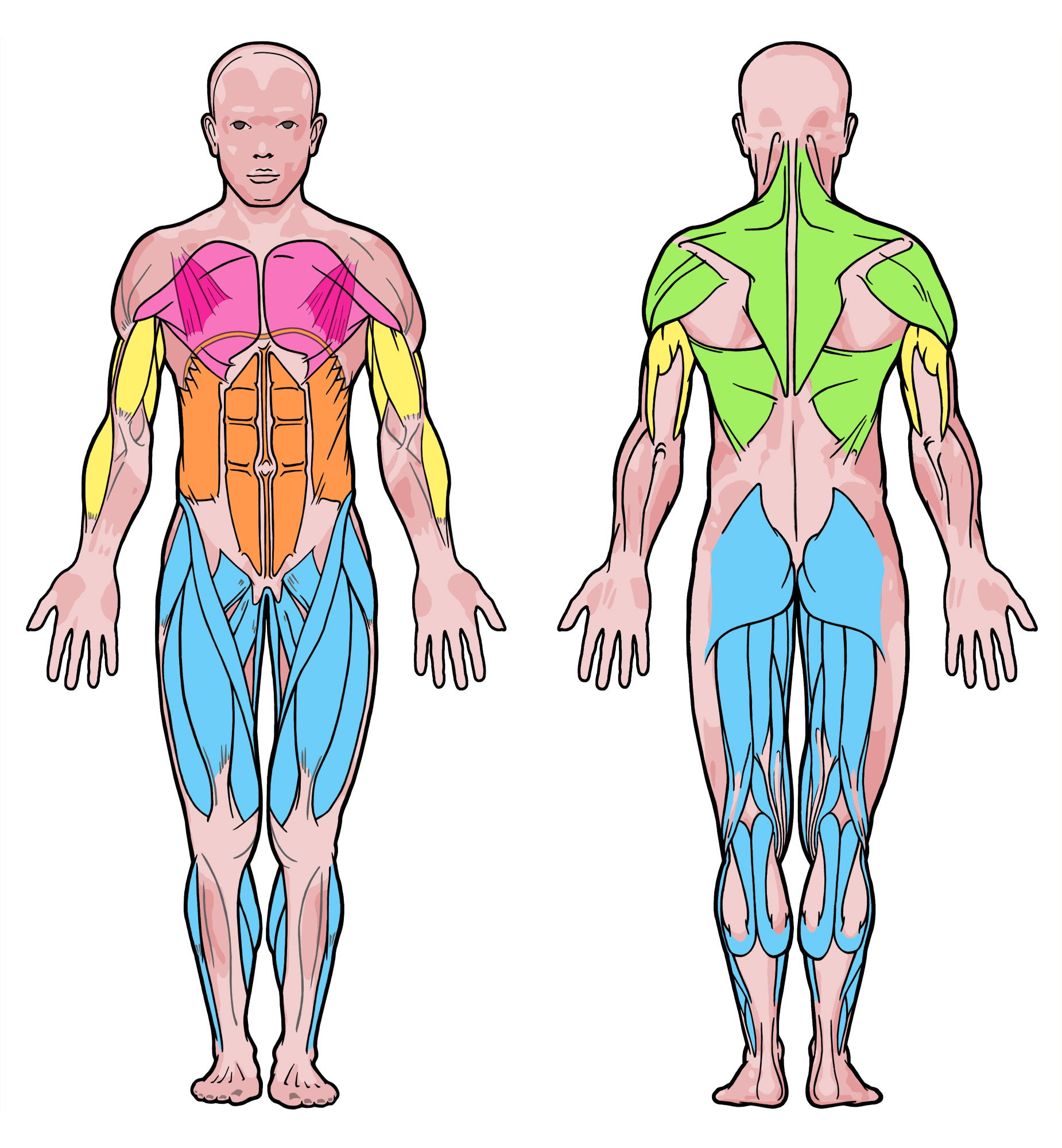 various muscles groups in the human body